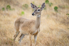 Free Deer Royalty Free Stock Images - 60449789