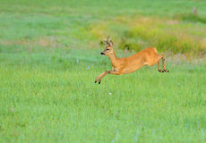 Deer. Poland.Jumping deer.Meadows near Nidzkie lake in Mazury.Summer Stock Images
