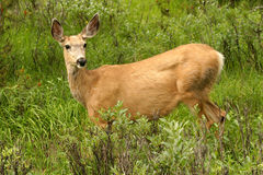 Deer. A deer in high green grass, Canada Royalty Free Stock Photography