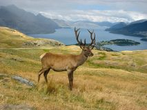 Deer. In  Park, New Zealand Royalty Free Stock Images