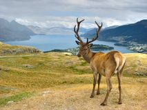 Deer. In  Park, New Zealand Royalty Free Stock Photo