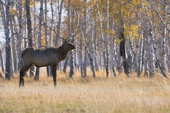 Deer. Male deer over forest at autumn Stock Images
