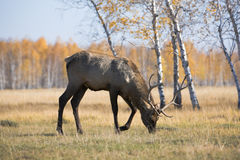 Deer. Male deer over forest at autumn. Eating grass Royalty Free Stock Images