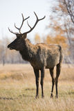 Deer. Male deer posing over forest autumn Stock Photography