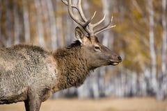 Deer. Posing at autumn forest Stock Photos