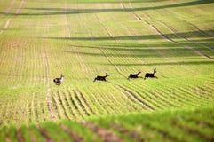 Deer. Running through the  fields Stock Image