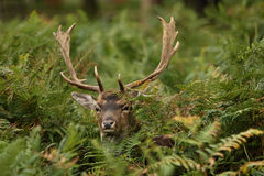 Deer 7 stock photography