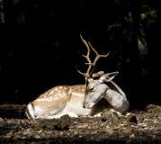 Deer Stock Image