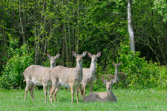 Deer. On meadow with forest in background Stock Photo