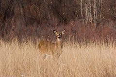 Deer. Wild deer in a Colorado winter Royalty Free Stock Images