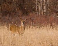 Deer. Wild deer in a Colorado winter Stock Image