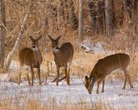Deer. Wild deer in a Colorado winter Stock Images