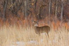 Deer. A deer standing in the Colorado snow Royalty Free Stock Photo