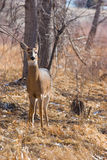 Deer. Wild deer standing in a Colorado forest Royalty Free Stock Photography