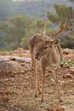 Deer. In a wild life reserve in Israel Stock Photo