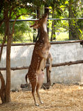 Deer 9 Royalty Free Stock Images