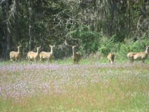 deer στοκ εικόνες