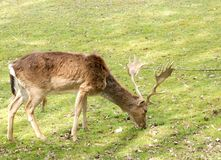 Deer adult Stock Images
