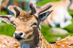 Deer. In African lion Safari Royalty Free Stock Photo