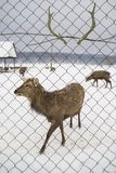 Deer against the background of their antler. Hornless deer against the background of their antler. animal in captivity behind the fence royalty free stock image