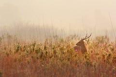 Deer alert Stock Photo