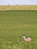 Deer in alfalfa field Royalty Free Stock Photography