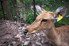 Deer. Alone in zoo thailand Royalty Free Stock Photos