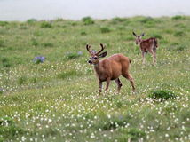 Deer in an Alpine Meadow Royalty Free Stock Photo