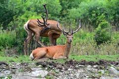 Deer Altai Royalty Free Stock Images
