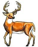 Deer animal. One red male deer standing Stock Images