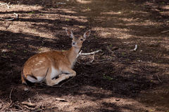 Deer animal lie on ground photo Royalty Free Stock Photo