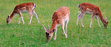 Free Deer, Animal, Wildlife, Mammal, Fawn, Grass, Wild, Nature, Fallow, Doe, Young, Brown, Green, Antlers, Stag, Baby, Animals, Royalty Free Stock Image - 119213086