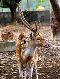 Deer animals background photograph. Beautiful deers animals background photograph captured from a local zoo around Bangladesh stock images