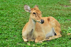 Deer. Animals lie on the grass with ease Stock Images
