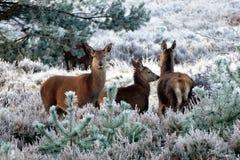 Deer, Animals, Nature, Wild Royalty Free Stock Photos