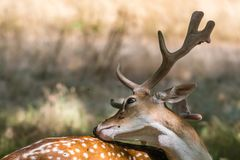 Deer annoyed by attacking flies stock photos