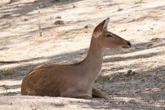 Deer or antelope Royalty Free Stock Image