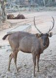 Deer or antelope Royalty Free Stock Photos
