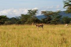 Deer. Antelope alertness and eating in Nakuru Kenya royalty free stock images