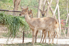 Deer or antelope eating Royalty Free Stock Photography