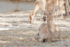 Deer or antelope in the park Royalty Free Stock Photography