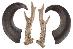 Deer antler and deer horn isolated. On white royalty free stock image