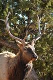 Deer antler forest nature king of the woods stock photo