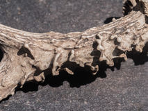 Deer antler macro photo. Macro photography of a deer antler isolated on a rock. Additional RAW file format available for download royalty free stock image