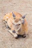 Deer. Without antler at Nara , Japan royalty free stock images