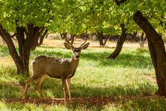 Deer with antler at Campground Capitol Reef National Park, Utah, USA. Deer with antler at in orchard at Campground Capitol Reef National Park, Utah, USA stock images