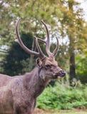 Deer antler Royalty Free Stock Photography