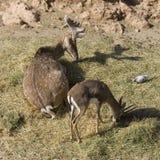 Deer. Antler spotty maral pantocrine grace zoo stock images