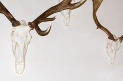 Deer Antler Trophies Royalty Free Stock Photos