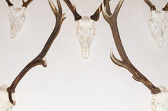 Deer Antler Trophies Stock Photo